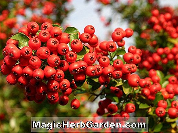 Cotoneaster (Herbst Feuer Willowleaf)