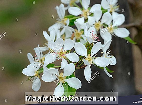 Pyrus communis (Winter Nelis Pear)