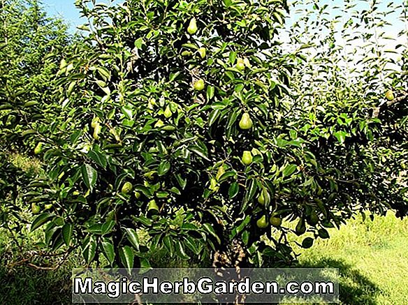 Pyrus communis (Century Yellow Pear)