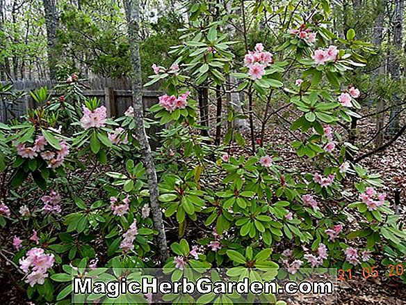 Rhododendron (Lois Hines Hines Hybrid Azalee) - #2