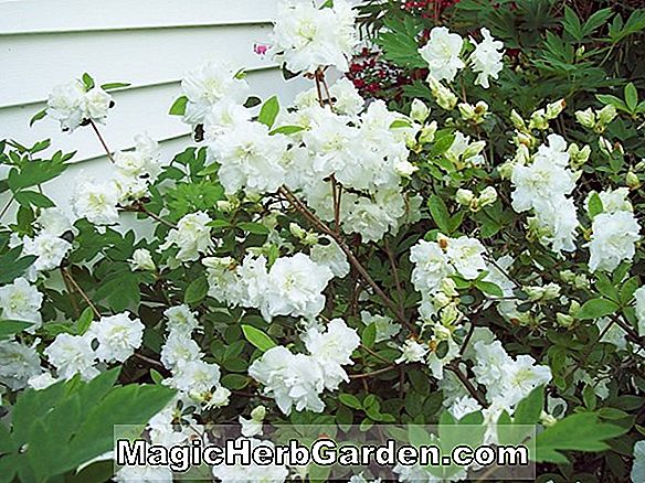 Rhododendron (Old Faithful Gable Hybride Azalee) - #2