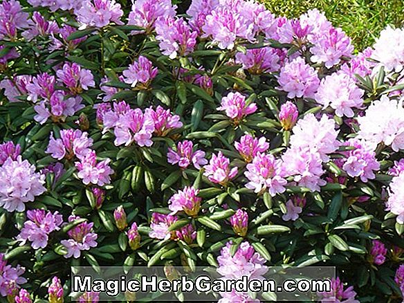 Rhododendron (Si-lin Greenwood Hybride Azalee)