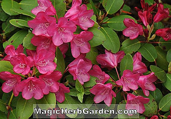 Rhododendron (Sumatra Leach Rhododendron) - #2