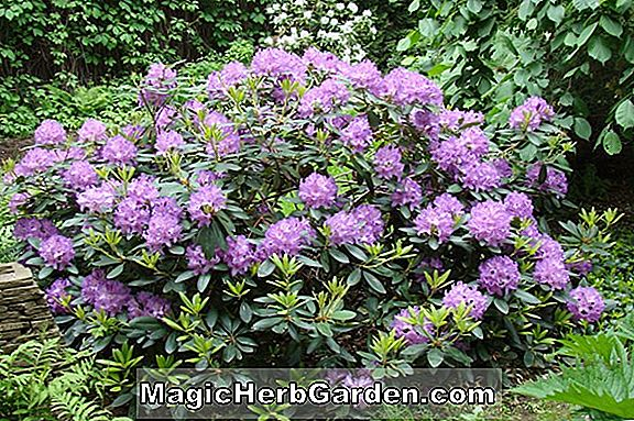 Rhododendron (Blaumeise Rhododendron)