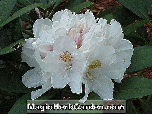 Rhododendron Catawiense (Anna Rose Whitney Catawba Rhododendron)
