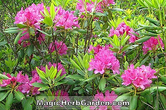 Rhododendron catawbiense (Herbst Gold Catawba Rhododendron)
