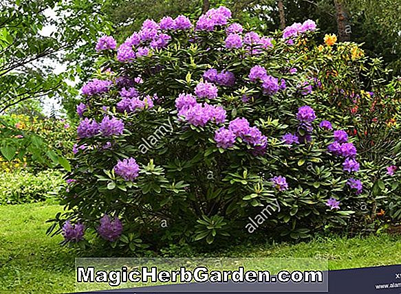 Rhododendron catawbiense (Kluis Sensation Catawba Rhododendron) - #2