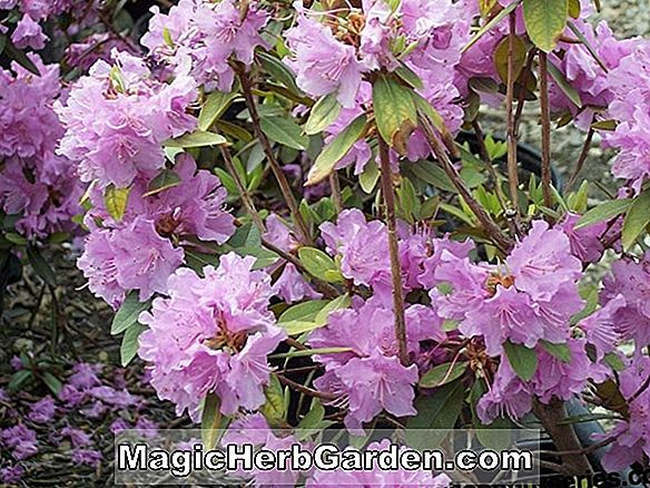 Rhododendron (Elite P. J. M. Rhododendron) - #2