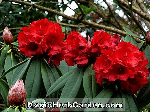 Rhododendron (Northern Rose P. J. M. Rhododendron)