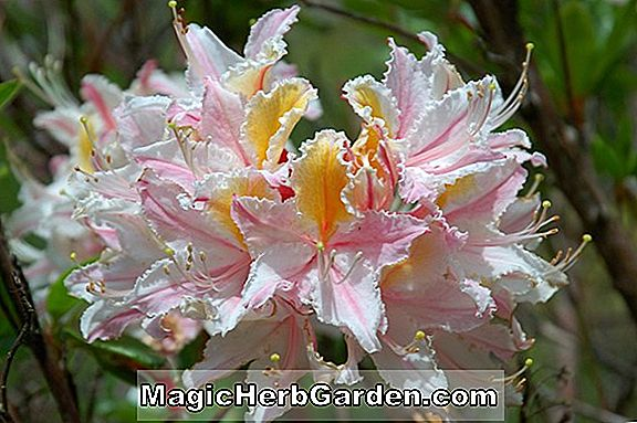 Plantes: Rhododendron occidentale (azalée occidentale) - #2