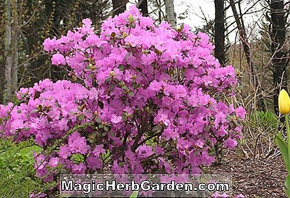 Rhododendron (Victor P. J. M. Rhododendron)