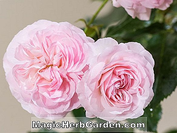 Pflanzen: Rosa (Goldmedaille Rose) - #2