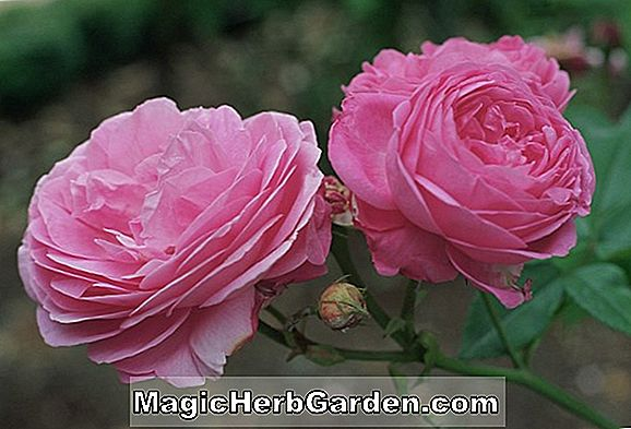 Pflanzen: Rosa (Lebhafte Rose)