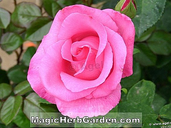 Rosa (Maskerade Rose)