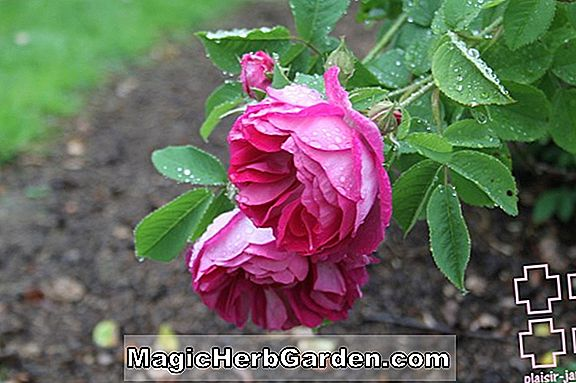 Rosa (Catherine Mermet Rose)