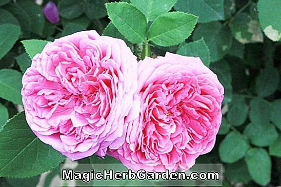 Rosa (Rosa Chimo Rose)