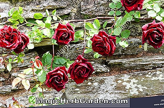 Rosa (Relax Meidiland Rose)