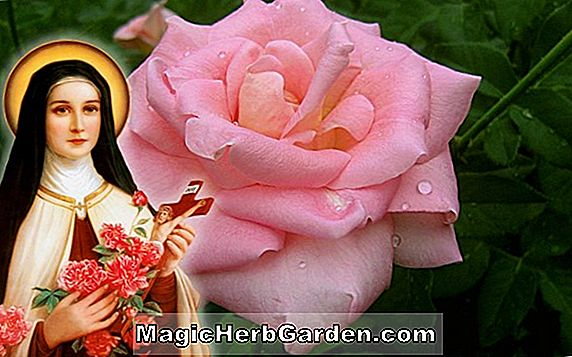Rosa (St. Therese de Lisieux Rose)