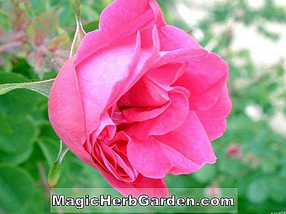 Rosa (Tropische Twist Rose)
