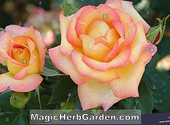 Pflanzen: Rosa (Dame Prudence Rose)