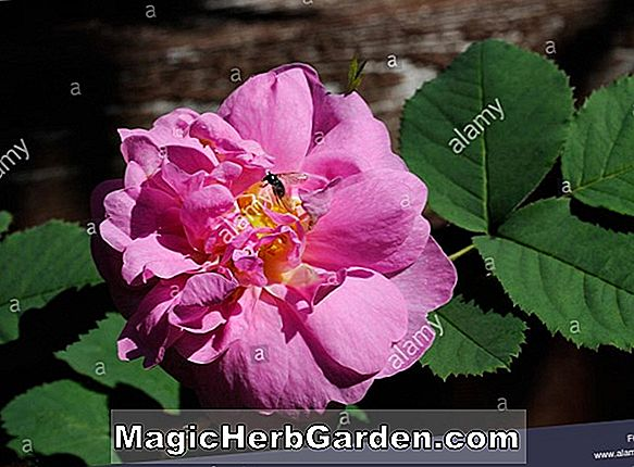 Rosa Carolina (Weide Rose)