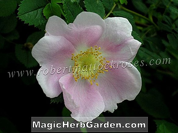 Rosa harisonii (Harisons gelbe Rose) - #2
