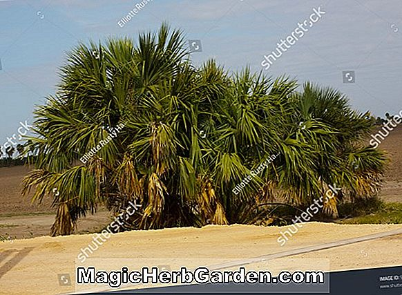 Sabal texana (Texas Palmetto)
