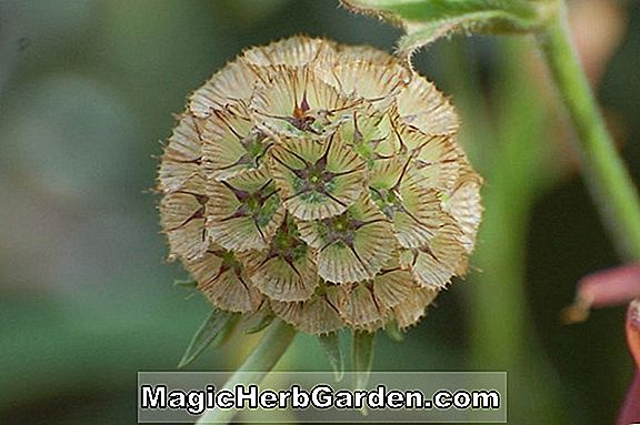 Scabiosa stellata (Ping Pong Sternwürger)