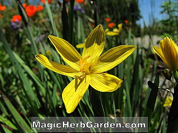 Sisyrinchium californicum (Herbe aux yeux d'or)