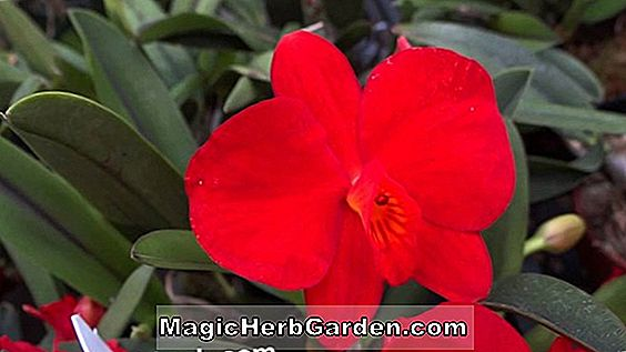 Sophronitis coccinea (Sophronitis-Orchidee)