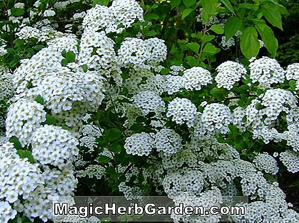 Spiraea x Billiardii (Billard Spirea)