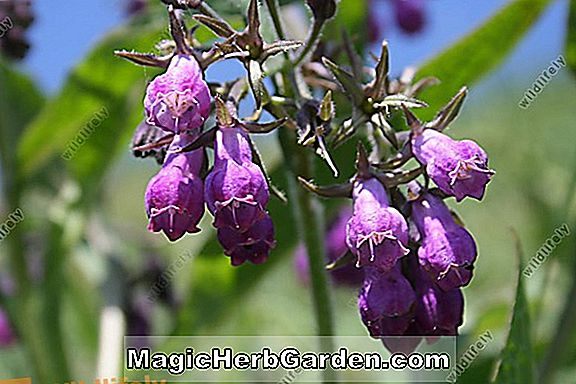 Symphytum officinale (Gemeiner Beinwell)