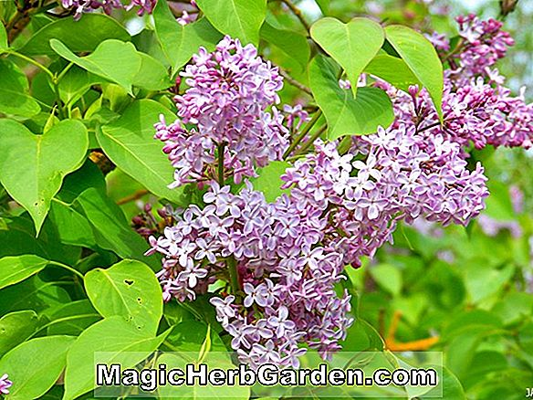 Syringa vulgaris (Katherine Havemeyer Lilac)