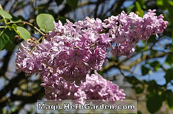 Syringa vulgaris (Jeanne d'Arc Common Lilac)
