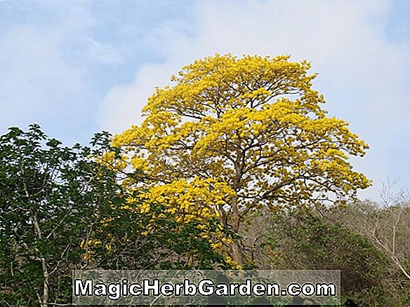 Tabebuia chrysantha (Trompette d'or)