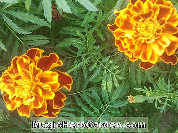 Tagetes erecta (First Lady Marigold)