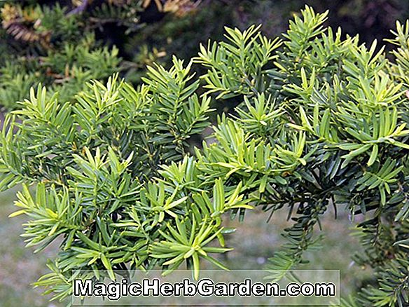 Taxus media (Hicksii Eibe)