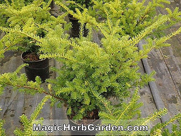 Taxus media (Wardii Eibe)