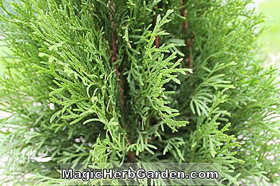 Thuja occidentalis (Lebensbaum)