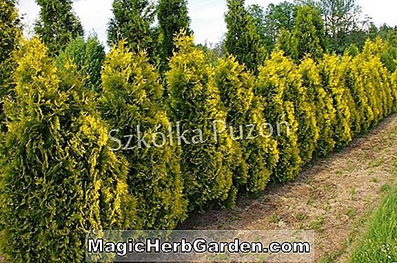 Thuja occidentalis (Hollandica Amerikanische Arborvitae)