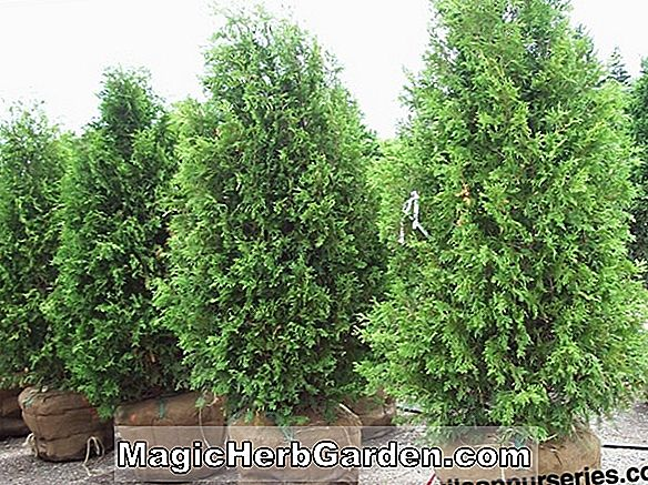 Thuja occidentalis (Techny amerikanische Arborvitae) - #2