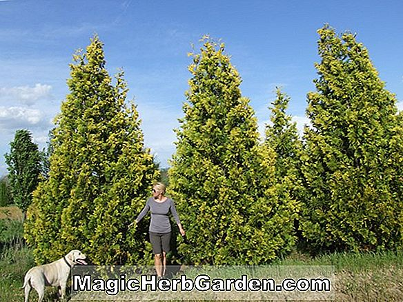 Thuja occidentalis (Filiformis amerikanische Arborvitae)