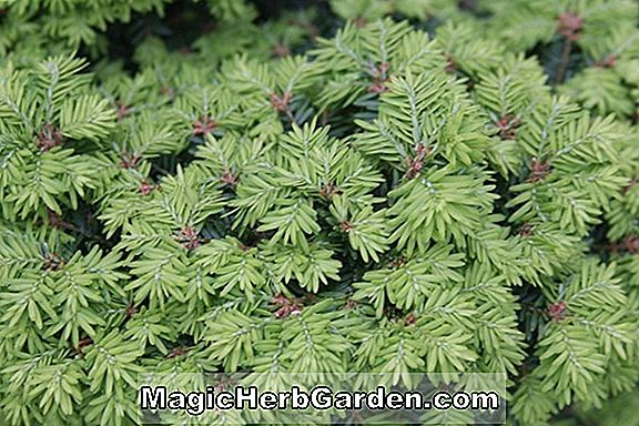 Tsuga canadensis (Little Joe kanadischer Hemlock)