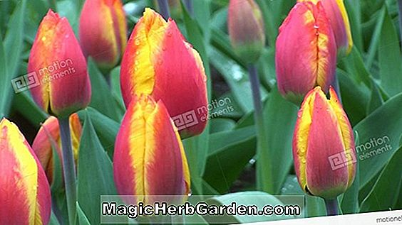 Pflanzen: Tulipa (First Lady Tulpe)
