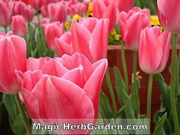 Tulipa (General Eisenhower Tulpe)