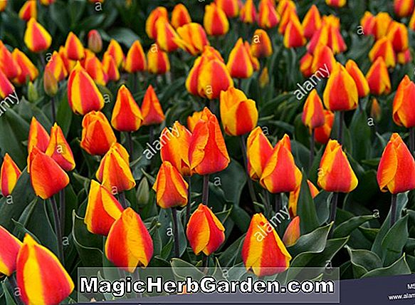 Tulipa (Orange Triumph Tulpe)