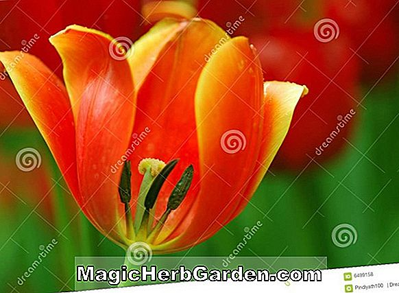 Tulipa (Oxford Tulpe)