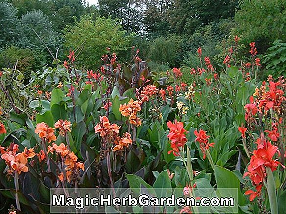Gartenarbeit mit Canna oder Indian Shot