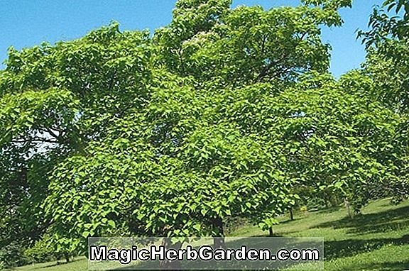 Indian Bean Tree Growing Guide