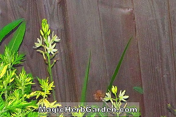 Asphodel - King's Spear, Guide des plantes vivaces